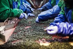 People at work.Unrecognizable workers hands in protective blue g. Loves make selection of frozen berries.Factory for freezing and packing of fruits and Royalty Free Stock Images
