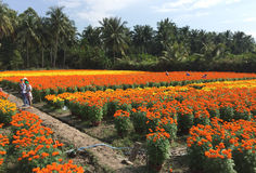 People working on the daisy flower fields. In Ben Tre, Vietnam. Ben Tre is 85 kilometres (53 mi) south-east of Ho Chi Minh City and is connected to the Stock Photography