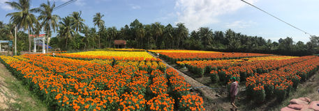 People working on the daisy flower fields. In Ben Tre, Vietnam. Ben Tre Province provides some of the most beautiful scenery in the Mekong delta Royalty Free Stock Photos