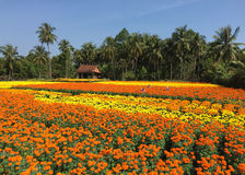 People working on the flower field in Mekong Delta, Vietnam Royalty Free Stock Images