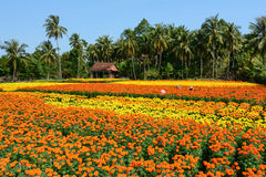 People working on the flower field in Mekong Delta, Vietnam Stock Image