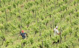 Free People Working In The Vineyard.Germany Royalty Free Stock Images - 153652439