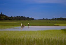 People working on a paddy field Royalty Free Stock Photography