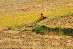 People working on rice field in Lai Chau, Vietnam. People harvesting on rice field in Lai Chau, Vietnam Stock Photos