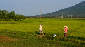 People working on rice field royalty free stock images
