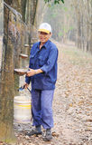 People working at rubber tree plantation in Yenbai, Vietnam Royalty Free Stock Photo