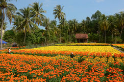 People working on Tagetes patula flower field in Mekong Delta, Vietnam Stock Photo