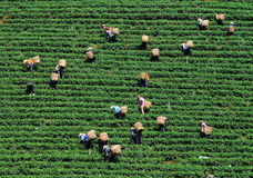 People working on tea field in Bao Loc, southern Vietnam Royalty Free Stock Images