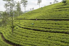 Workers working on a tea plantation in Sri Lanka Stock Photos