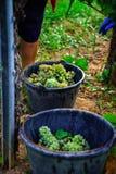 People working on vendange, vine harvest. Royalty Free Stock Photo