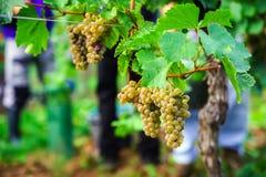People working on vendange, vine harvest. Royalty Free Stock Image