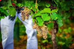 People working on vendange, vine harvest. Stock Photography