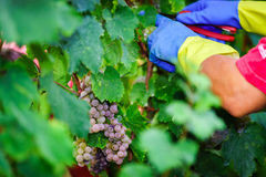 People working on vendange, vine harvest. Royalty Free Stock Photo