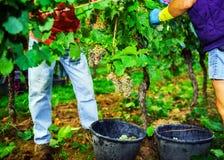 People working on vendange, vine harvest. Stock Photo