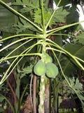 Pepaya растя на дереве стоковая фотография