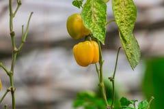 Pepe del growndel greenhousedi agricoltura Fotografie Stock Libere da Diritti