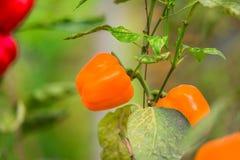 Pepe del growndel greenhousedi agricoltura Fotografia Stock