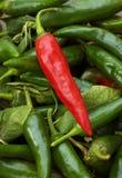 Pepe di Caienna rosso fotografie stock libere da diritti