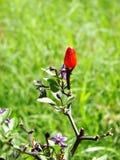 Pepe di peperoncino rosso variopinto molto piccolo Fotografia Stock