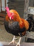 Pepe, mi gallo miniatura Imagen de archivo