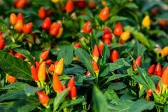 Pepe ornamentale sveglio rosso in orto fotografie stock libere da diritti