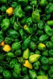 Pepe più caldo del peperoncino rosso del Habanero nel mondo Fotografia Stock