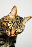 Tabby cat. Curious cat looking at you Royalty Free Stock Image