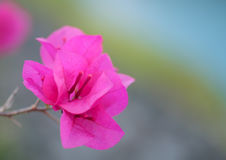 Peper blomma Arkivbild