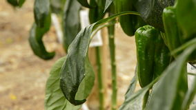 Peper het groene fruit hangen bij tak van installaties stock footage