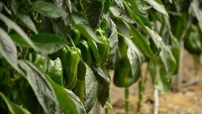 Peper het groene fruit hangen bij tak van installaties in serre stock videobeelden