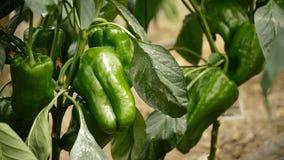 Peper het groene fruit hangen bij tak van installaties in serre stock video