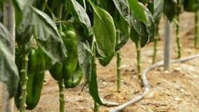 Peper het groene fruit hangen bij tak van installaties in serre stock footage