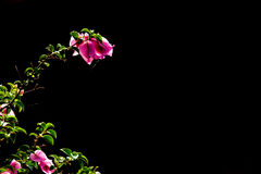 Peper kwiat Obrazy Stock