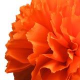Peper kwiat Obrazy Royalty Free