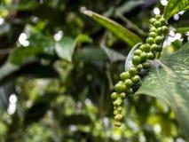 Peper roślina obraz stock