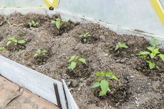 Peper seedling in greenhouse Royalty Free Stock Photography