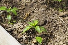 Peper seedling in greenhouse Stock Photos