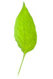 Peper sprout leaf Stock Images