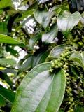 Peper växt Arkivbilder
