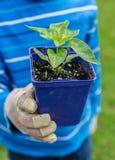 Peperinstallatie in een kind` s tuin Royalty-vrije Stock Afbeelding