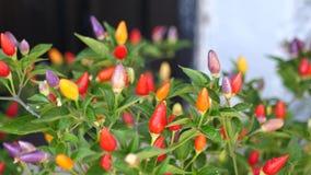 Peperinstallaties met purpere bloemen stock videobeelden