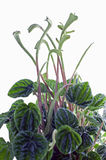Peperomia Stock Photography