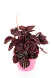 Peperomia Stock Images