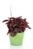 Peperomia Photographie stock