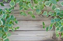 Free Peperomia Royalty Free Stock Photo - 75756115