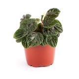 Peperomia caperata. Houseplant royalty free stock photography