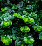 Peperomia. Group of belly button Peperomia, green gradation Stock Photo
