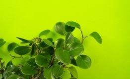 Peperomia home flower of green color. lime background. The decor is inside the apartment. Nature tropics stock image