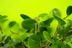Peperomia home flower of green color. lime background. The decor is inside the apartment. Nature tropics stock photography