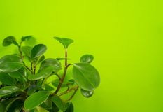 Peperomia home flower of green color. lime background. The decor is inside the apartment. Nature tropics royalty free stock photo